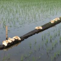 今年もアイガモが田んぼで働いています!