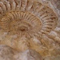 巨大アンモナイトの化石