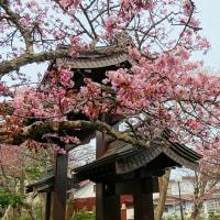 桜の花が咲きました~~♪