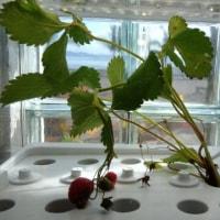 イチゴは水耕栽培器で育成します。