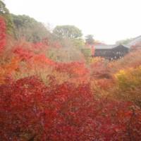 京都で赤く輝いてたのもみじだけでした。