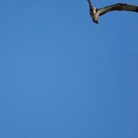 ミサゴの不思議な飛行写真(その4) (Photo No.13982)