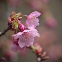 170328_城山かたくりの里-15 <桜/木蓮>