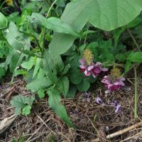 隠れる様に咲く奥ゆかしいクズの花ですが…