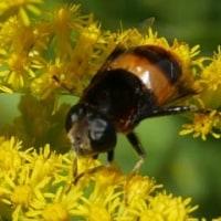 黄色雀蜂(キイロスズメバチ)