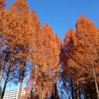 メタセコイアの落葉