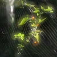 キミノヒヨドリジョウゴ