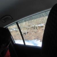 今日は、動物の足跡を観察する会でした。途中の車の中からも小鹿を見ることが出来ました。