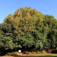 真中にモミジバフウ(アメリカフウ)の大木:右にシラカシ、左にアラカシです。