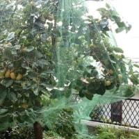 柿のネット掛