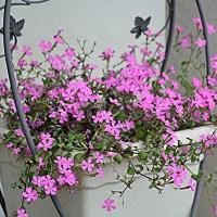 春のお気に入りの花は・・・・