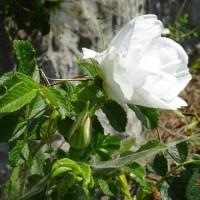 暑さでお花もぐったり(-_-)