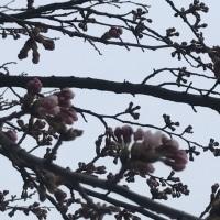 桜が咲きました〜(*´˘`*)♡