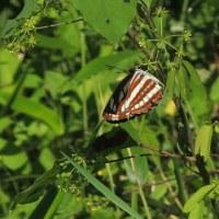 「ハルジオン」「蝶3種」「ニセアカシア」