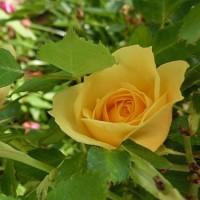バラが咲いた♪バラが咲いた♪