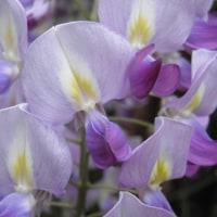 足元に咲くフジの花