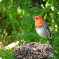 今日の野鳥、コマドリ ・ オオルリ ・・・ 。
