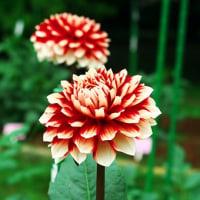 神代植物公園の花から
