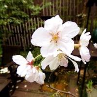 「我が家の桜」