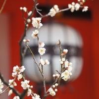 京の梅花情報2017  北野天満宮