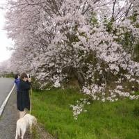 旧野洲川堤防の桜並木へ