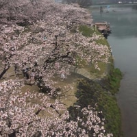 錦帯橋の桜 平成29年4月