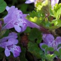 足元で開花のカキドウシの花