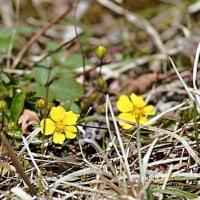 季節の花   キジムシロ