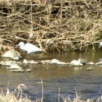 向こう岸にコサギが2羽