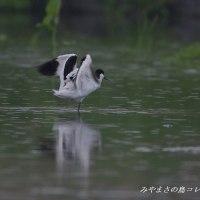 今日の鳥コレクション・・・ソリハシセイタカシギ