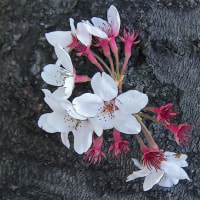 羽根谷だんだん公園の八重桜 その2