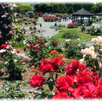 バラのいい香りにつつまれて(^^♪市の花「バラ」が、市民に親しまれるようにとつくられた「若園公園バラ園」
