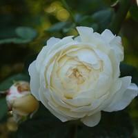 秋の白バラ