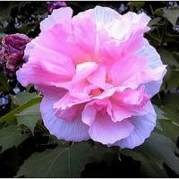 咲き続ける酔芙蓉の花
