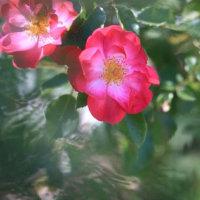 六月のバラ