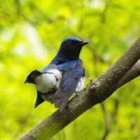 青い鳥・オオルリ2