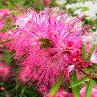 雨に濡れる合歓木の花・・・鹿児島の風景