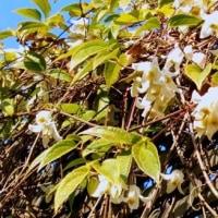 フェンスに野葡萄を絡ませていたお宅にクレマチスの花が・・・