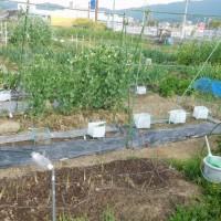 2017春 家庭菜園 <トマト・ナス・キュウリなどの苗を植付>4/23