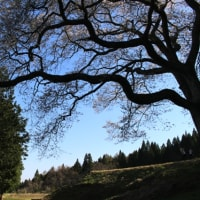 森湯谷のエドヒガン