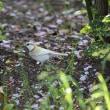 岡崎公園の白いシジュウカラ その96