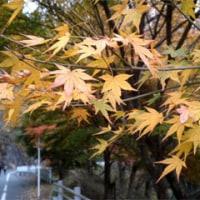 今年の丹沢湖ウォーキングの紅葉はタイミング合わずイマイチ…『あるきんぐ&のぼりんぐ』さわやかウォーキング