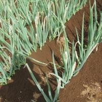 ネギの追肥と土寄せをしました。