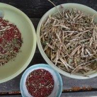 小豆の収穫