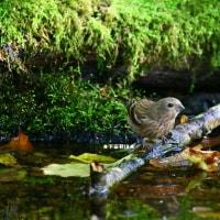 野鳥観察 ベニマシコ雌