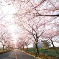 調布飛行場の桜並木 スミアイ