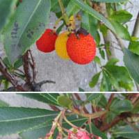 イチゴノキ(苺の木)