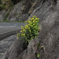 ホソバワダン(細葉海菜)キク科の多年草
