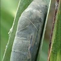 キマダラセセリの幼虫が!(またまたまた)