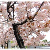 北摂の遅咲きの桜だより(^^♪高槻塚原の見頃のサクラ並木 花は「サトザクラ」